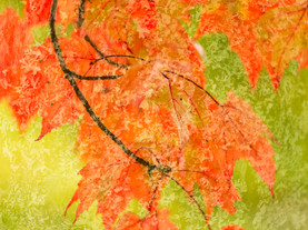 Maple Abstract, Inlet, Adirondacks, New York