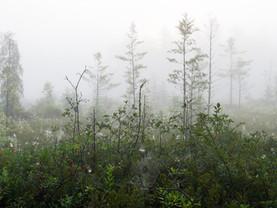 Spider Webs in a Tamarack Bog Along Upper St. Regis Lake, Adirondacks, New York