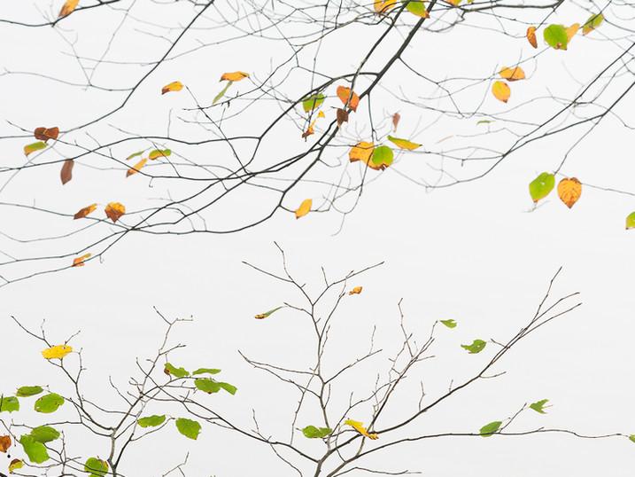 Birch Limbs Japanese Print, Eighth Lake, Adirondacks, New York