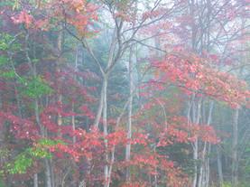 Fog Suffusing Autumn Woods, Near Shaw Pond, Adirondacks, New York