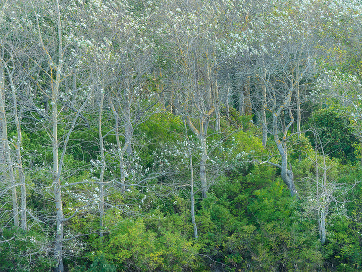 Springtime Woods, Stage Harbor, Chatham, Cape Cod, Massachusetts