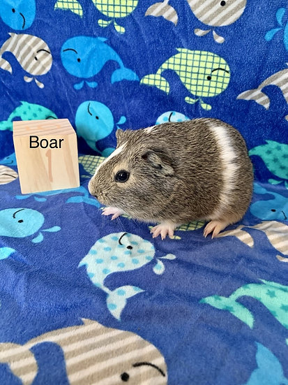 American Agouti Boar