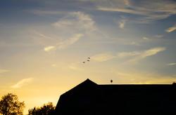 Upper Vobster Farm geese flying over