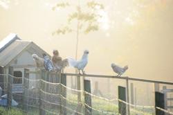 Upper Vobster Farm chickens