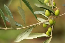 Superior Benefits of Olive Leaf Extract