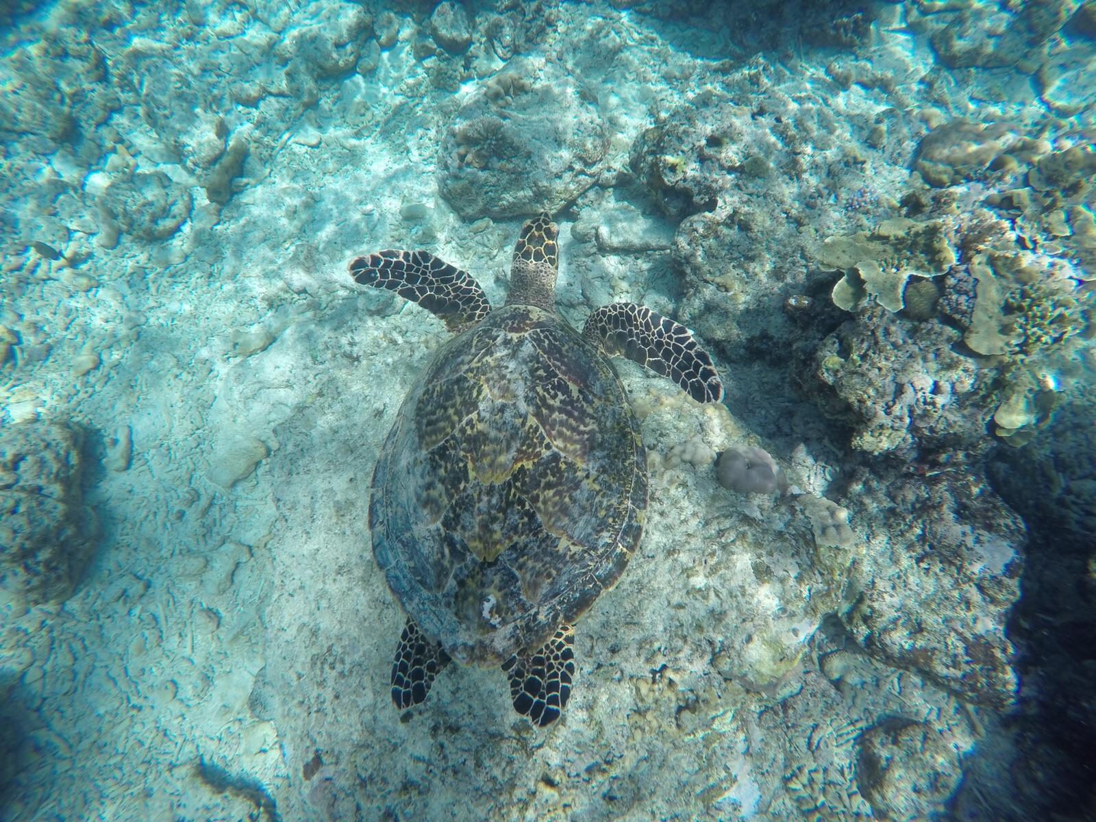 Tartaruga immersione