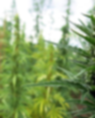 plants-cannabis-fields-crop.png