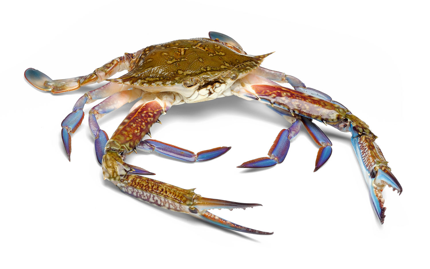 MJSeafood_SpiderCrab