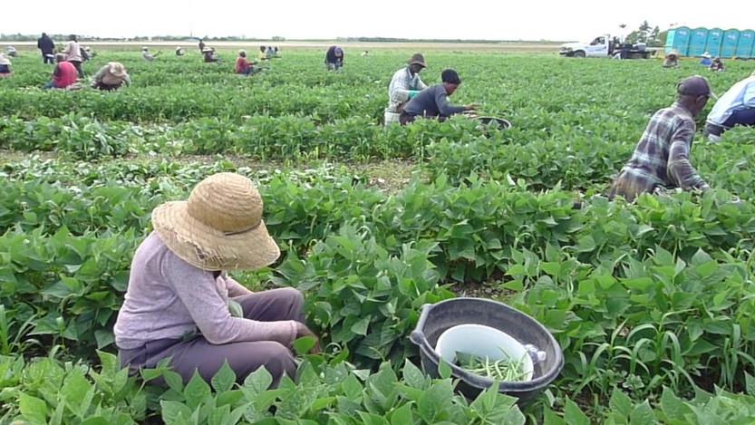 Unseen Field Culture: American Green Bean