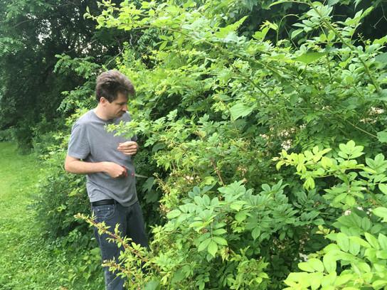 Foraging for wild rose, Hartford 2019