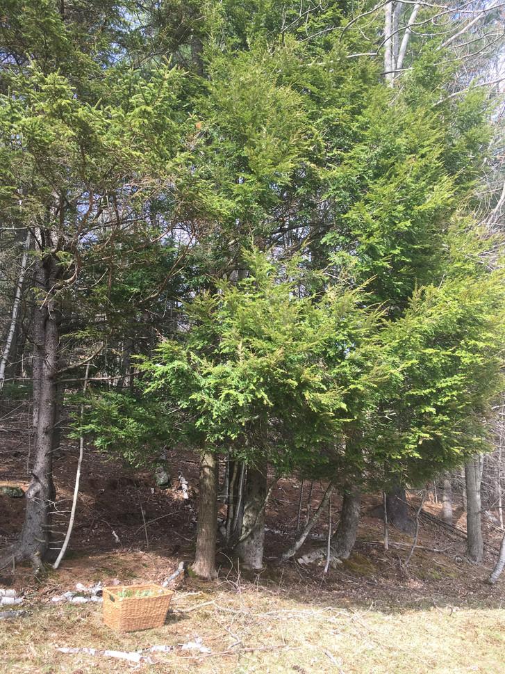 Harvesting Hemlock Vermont 2019