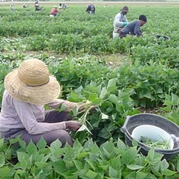 Unseen Field Culture: The Green Bean
