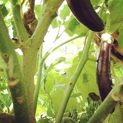 EggplantSpy
