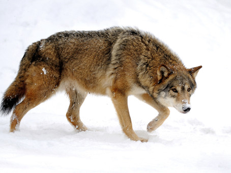 Wolf management 'compatible' for now
