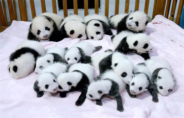 Chengdu Panda (5)