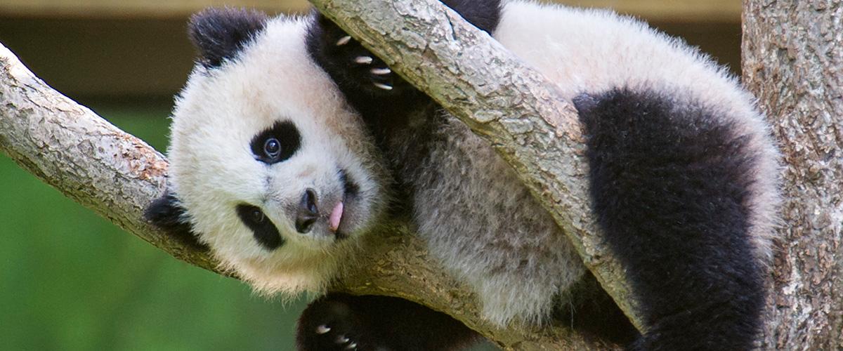 Chengdu Panda (8)