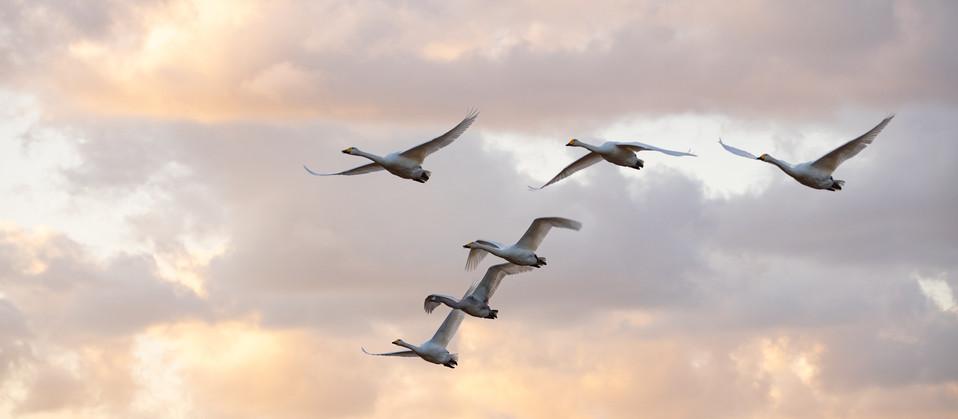 白鳥-13.jpg