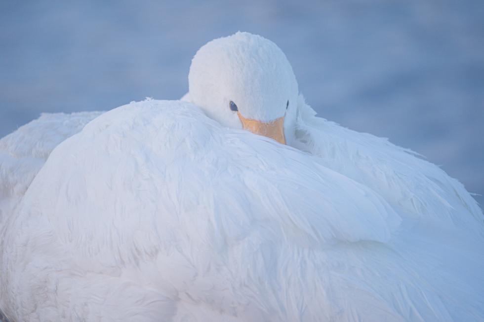 白鳥-27.jpg