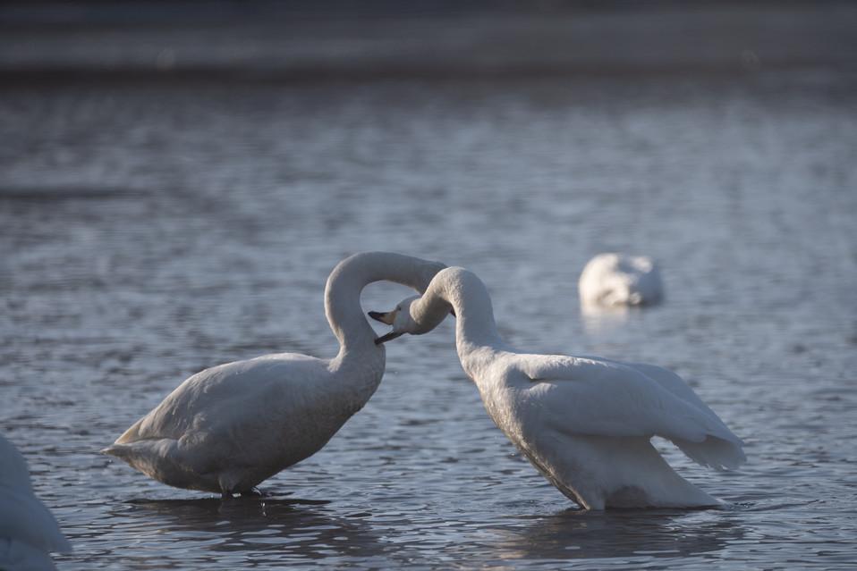白鳥-24.jpg
