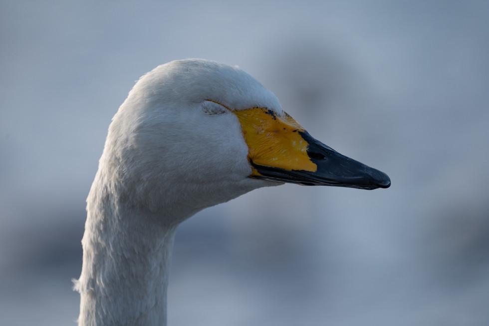 白鳥-18.jpg