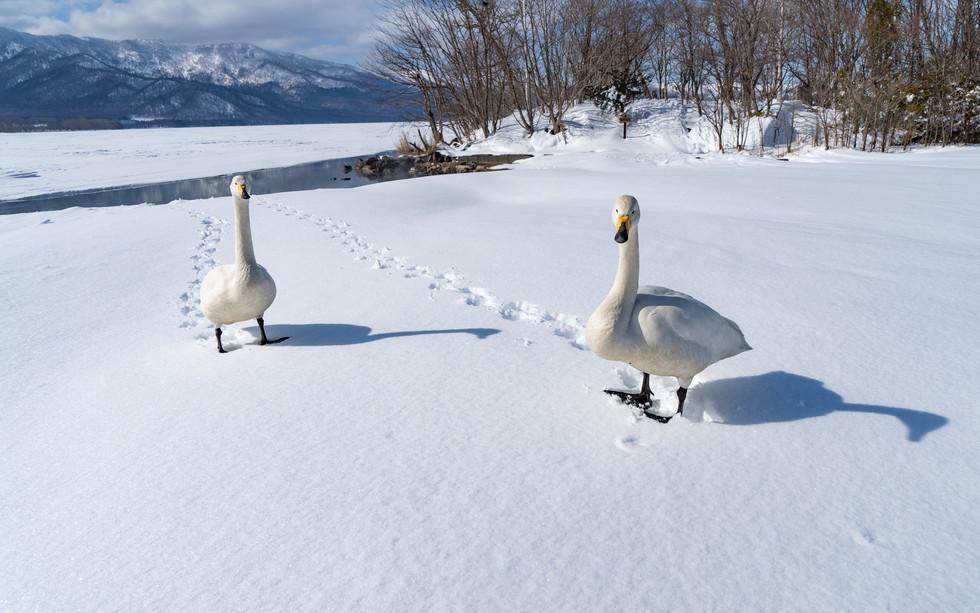 白鳥-38.jpg