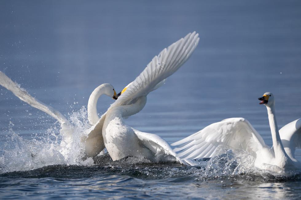 白鳥-46.jpg