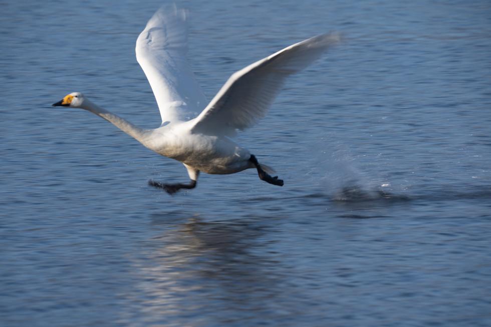 白鳥-22.jpg