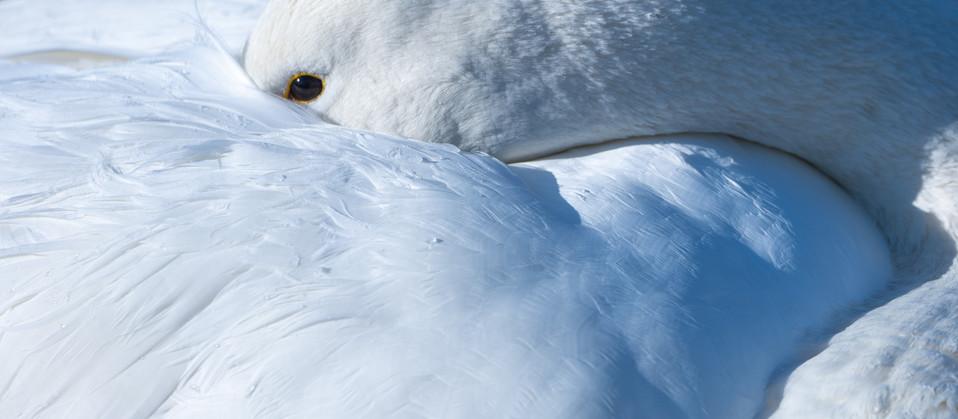 白鳥-47.jpg
