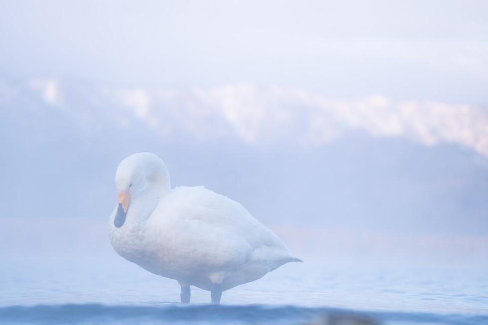 白鳥-26.jpg