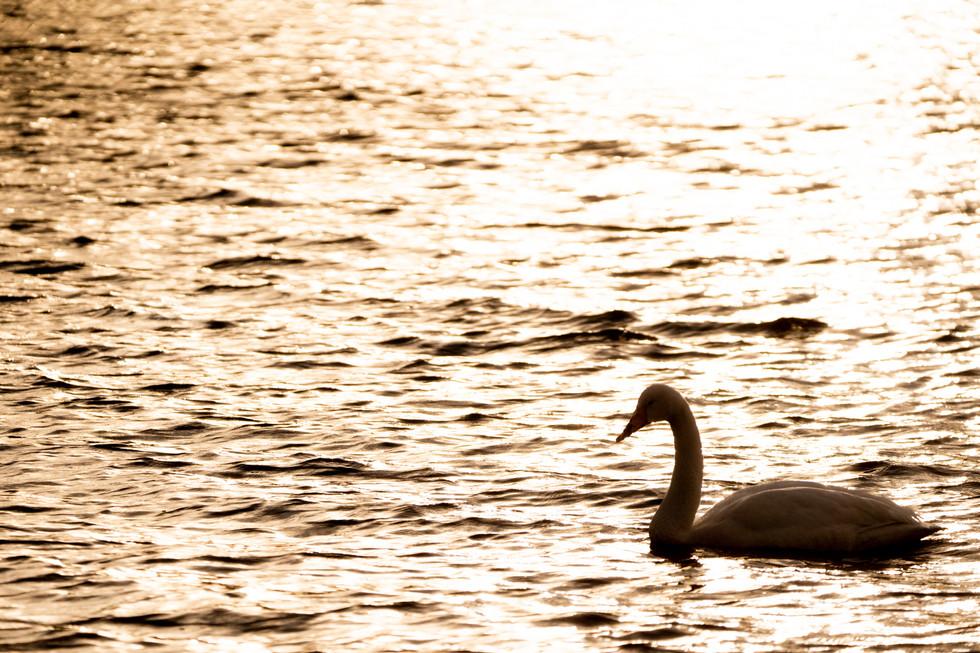 白鳥-19.jpg