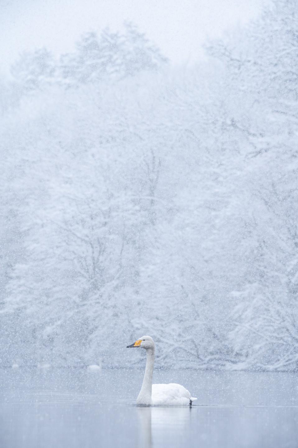 白鳥-59.jpg