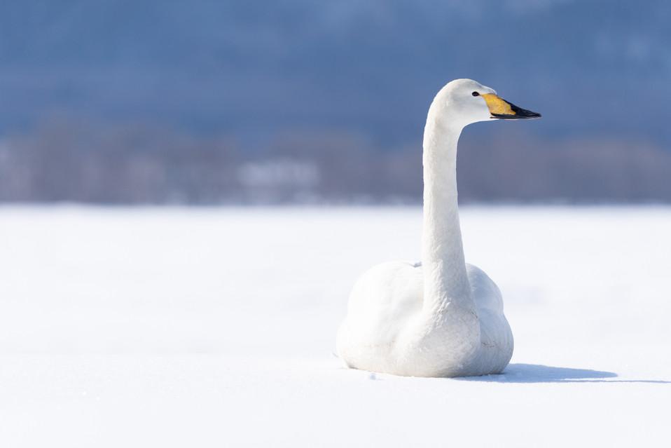 白鳥-37.jpg
