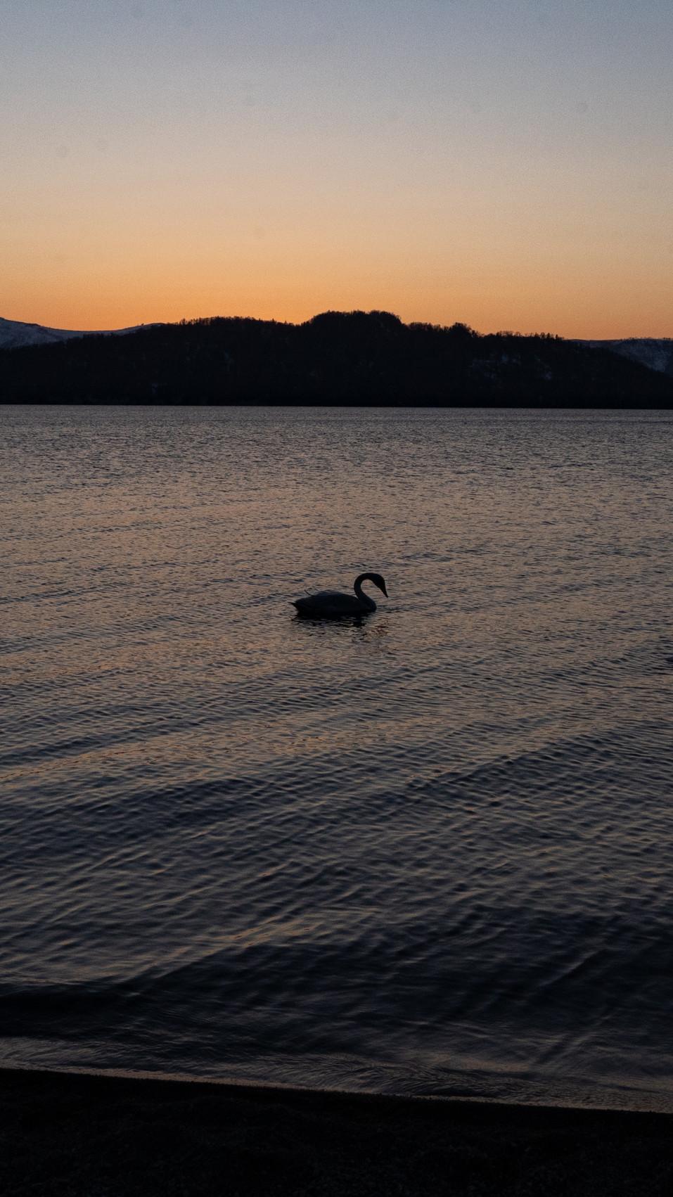 白鳥-51.jpg