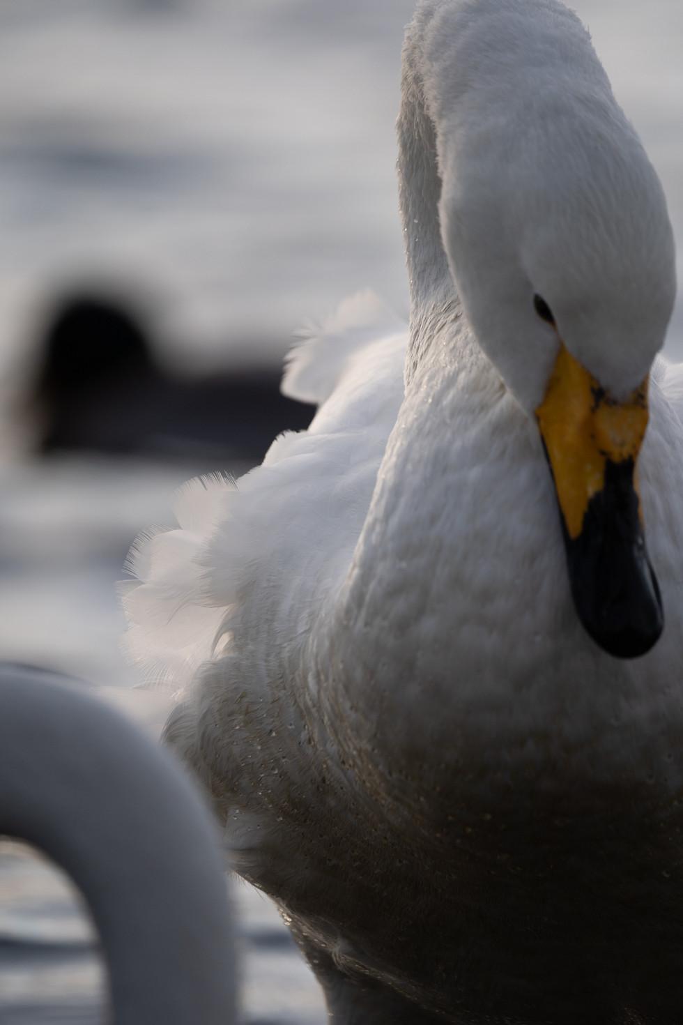 白鳥-21.jpg