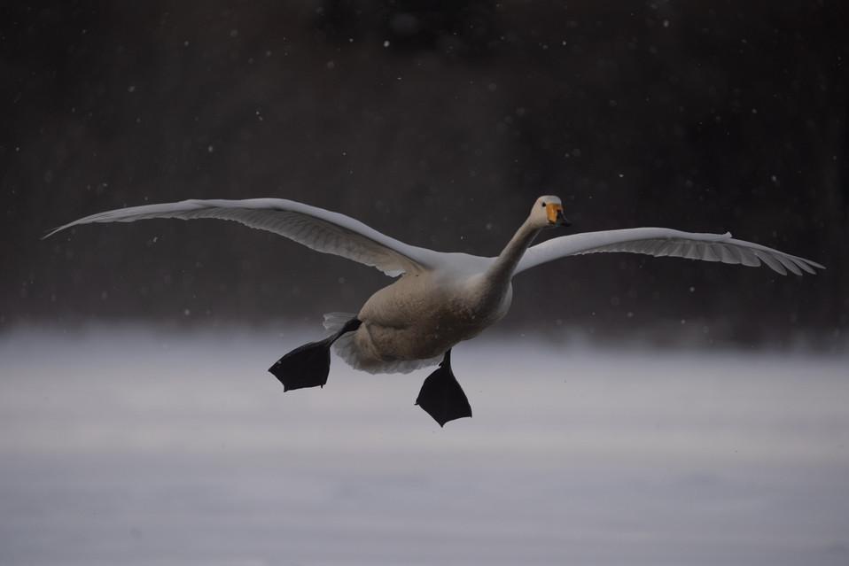 白鳥-31.jpg