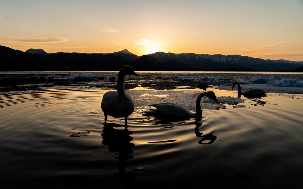 白鳥-54.jpg