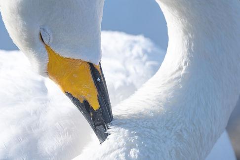 白鳥-48.jpg
