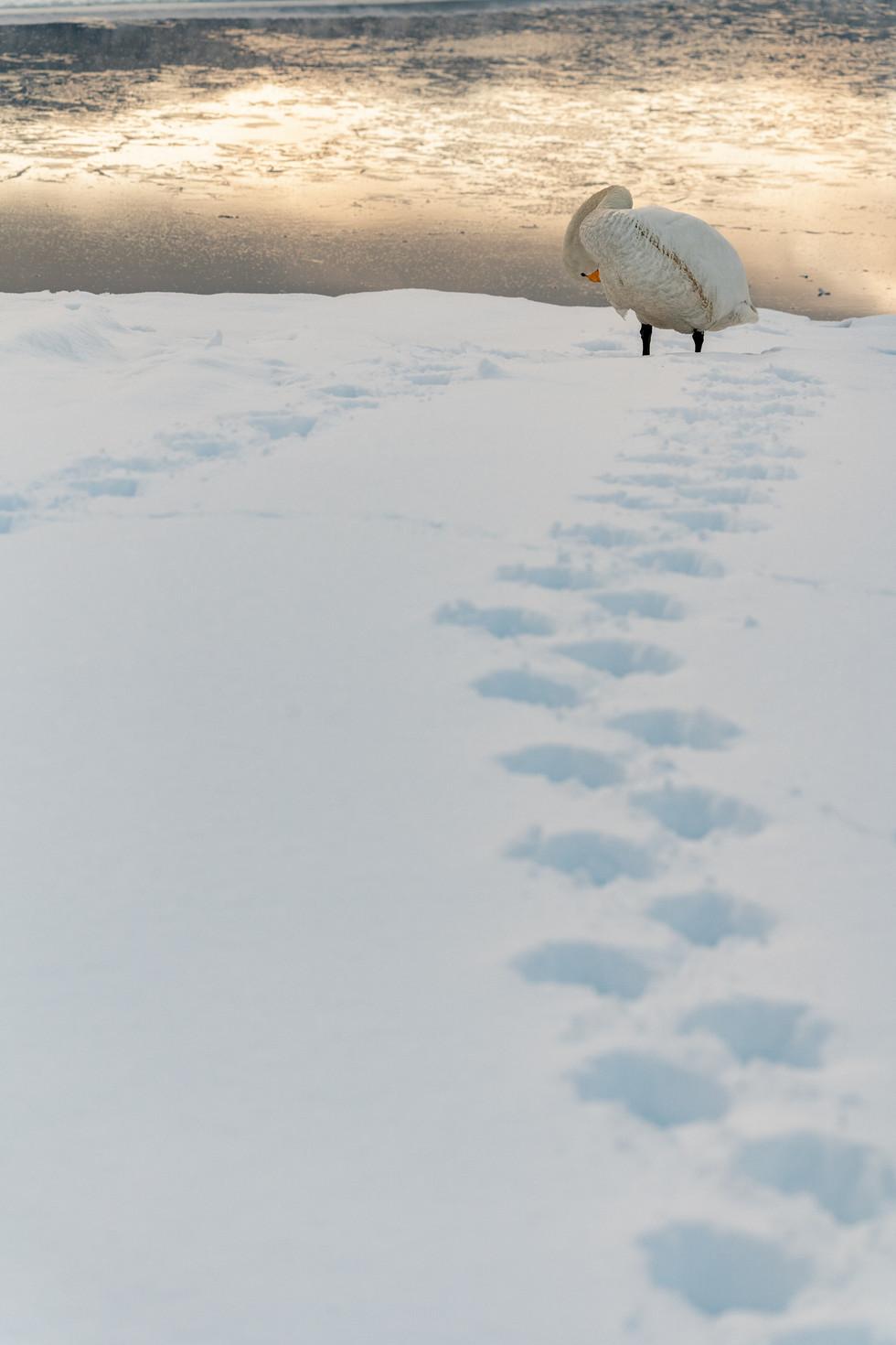 白鳥-41.jpg