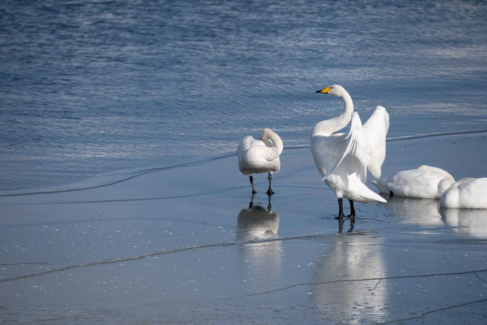 白鳥-30.jpg