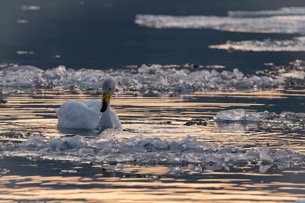 白鳥-55.jpg