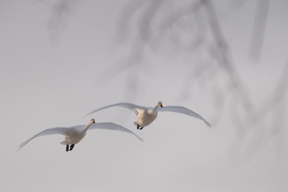 白鳥-34.jpg