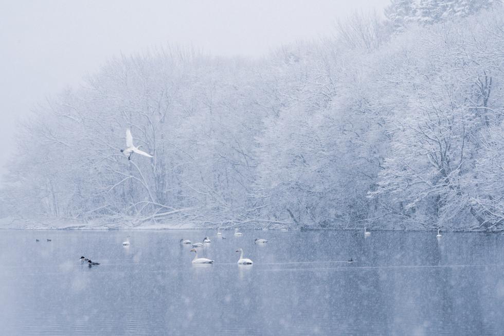 白鳥-58.jpg