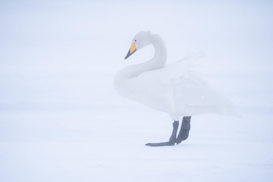 白鳥-35.jpg