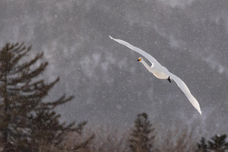 白鳥-33.jpg