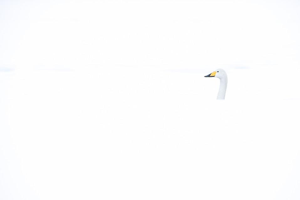 白鳥-40.jpg