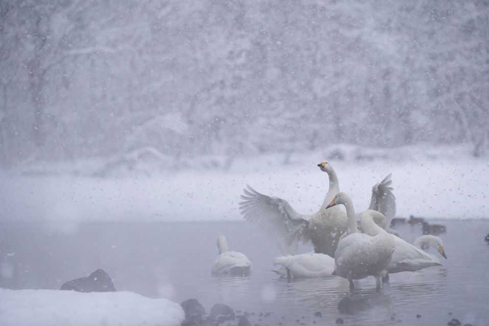 白鳥-29.jpg