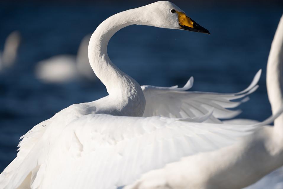 白鳥-17.jpg