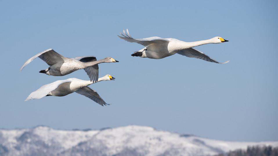 白鳥-45.jpg