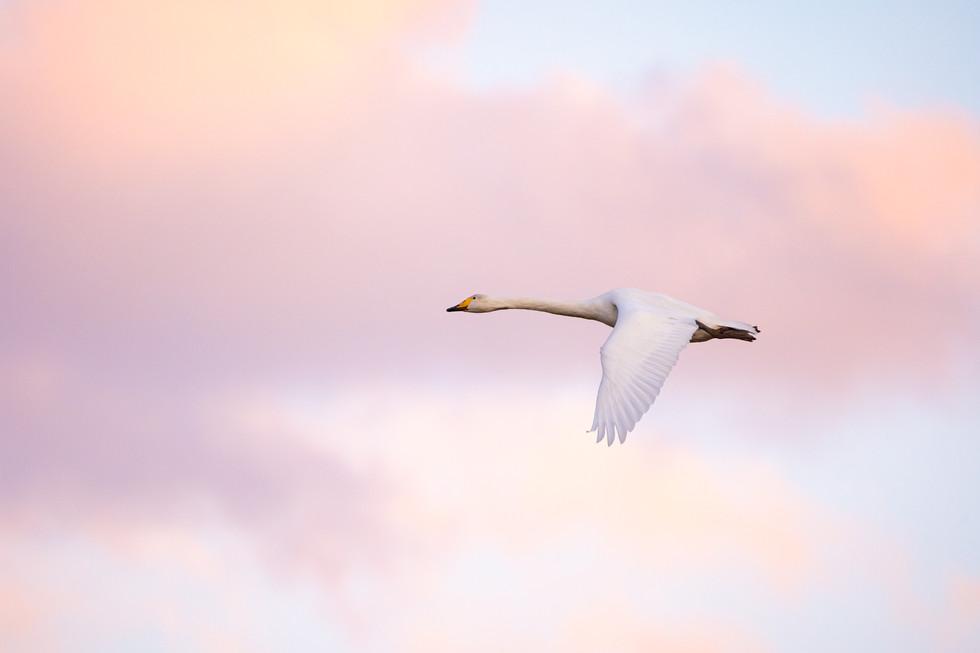 白鳥-14.jpg