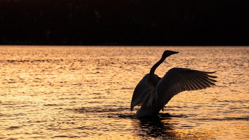 白鳥-49.jpg